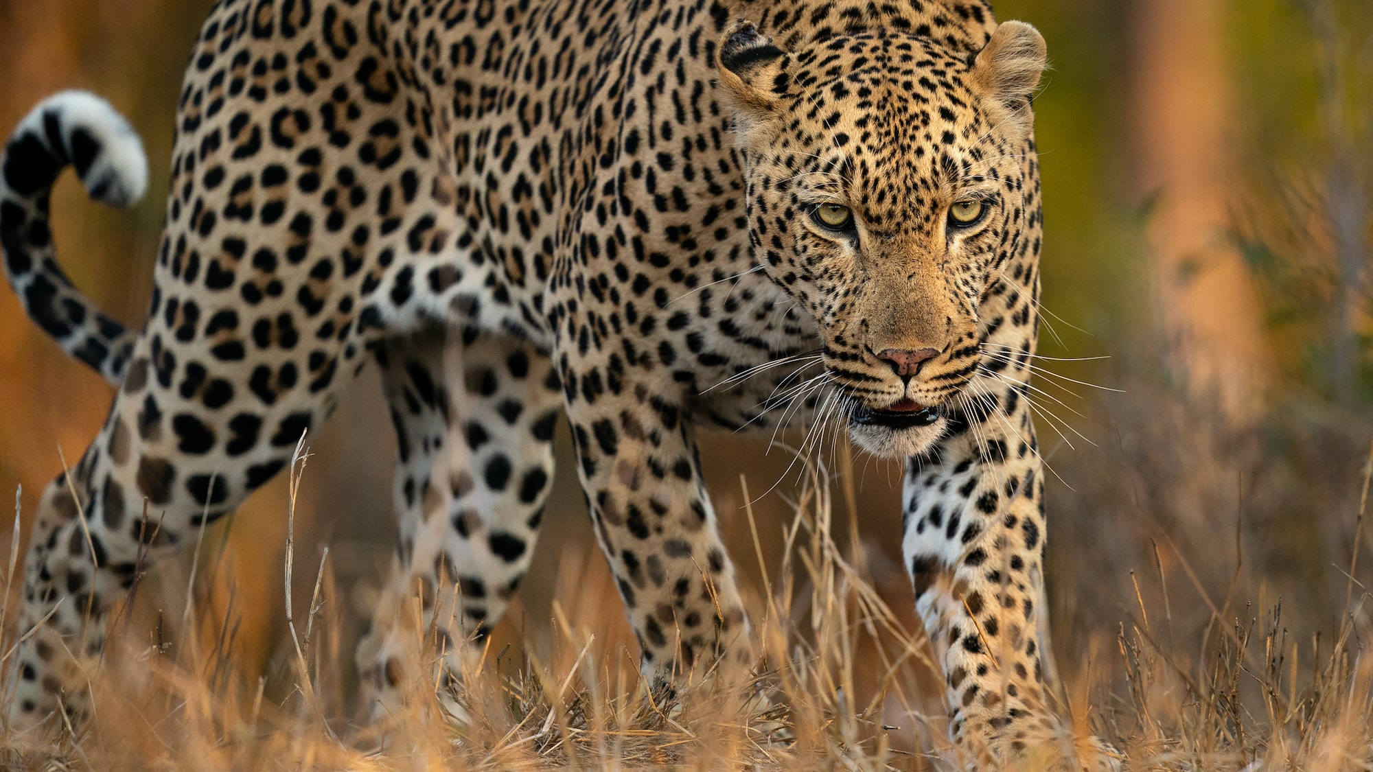 Male leopard in the safari