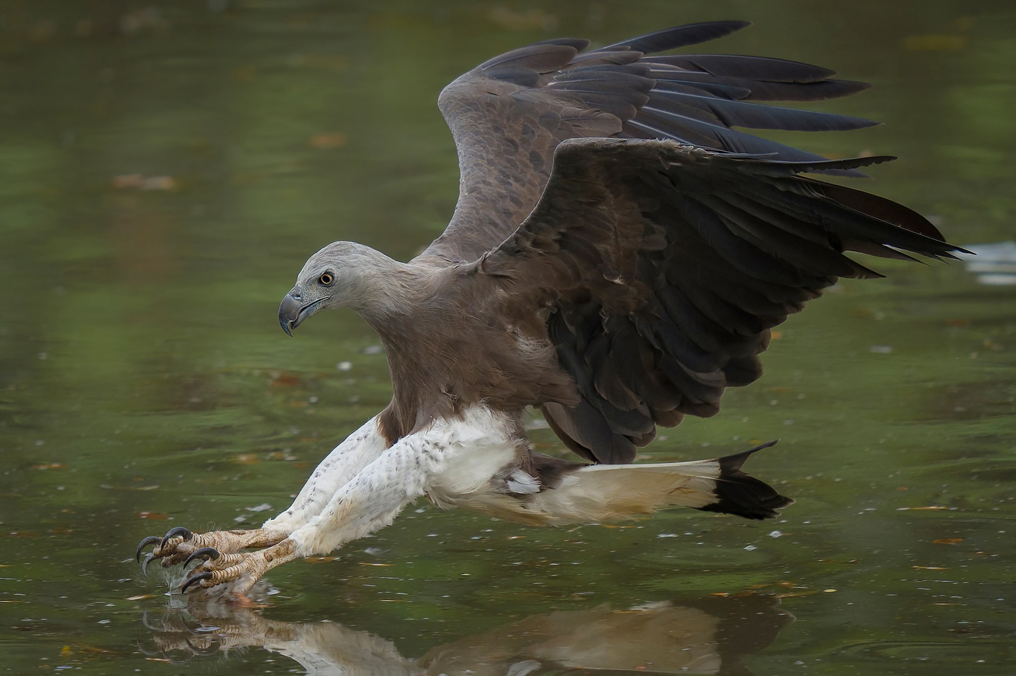 Sony Alpha 7R IV's 61 megapixels retain high resolution of flying Grey-Headed Fish Eagle even after shot in 1.5x APS-C crop mode.