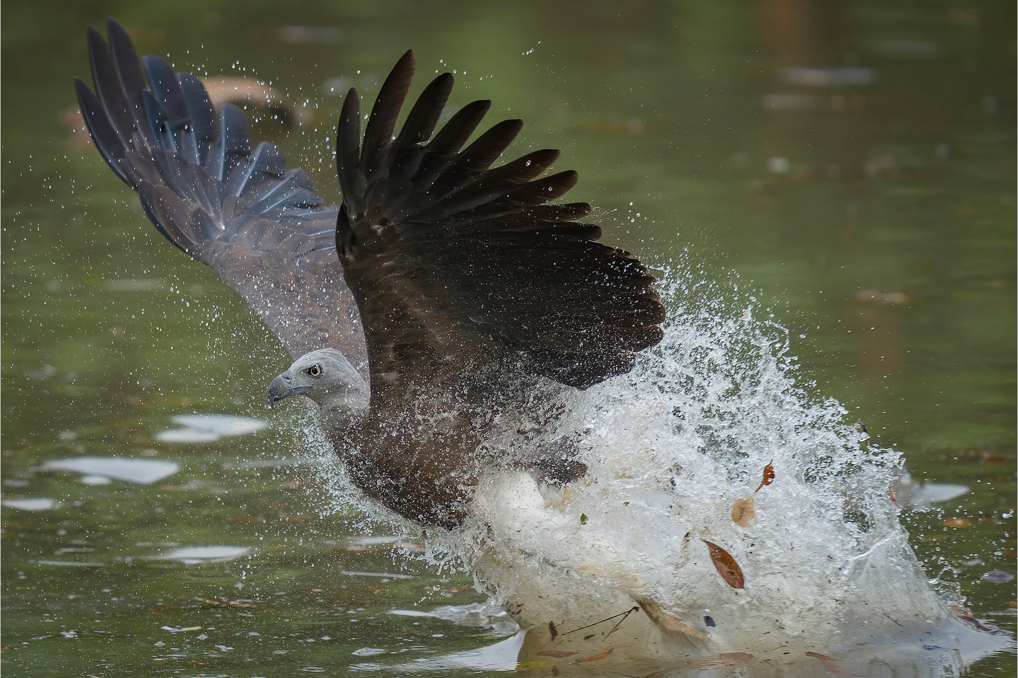 Fast Hybrid AF allows Sony Alpha 7R IV to capture flying Grey-Headed Fish Eagle in remarkable detail.