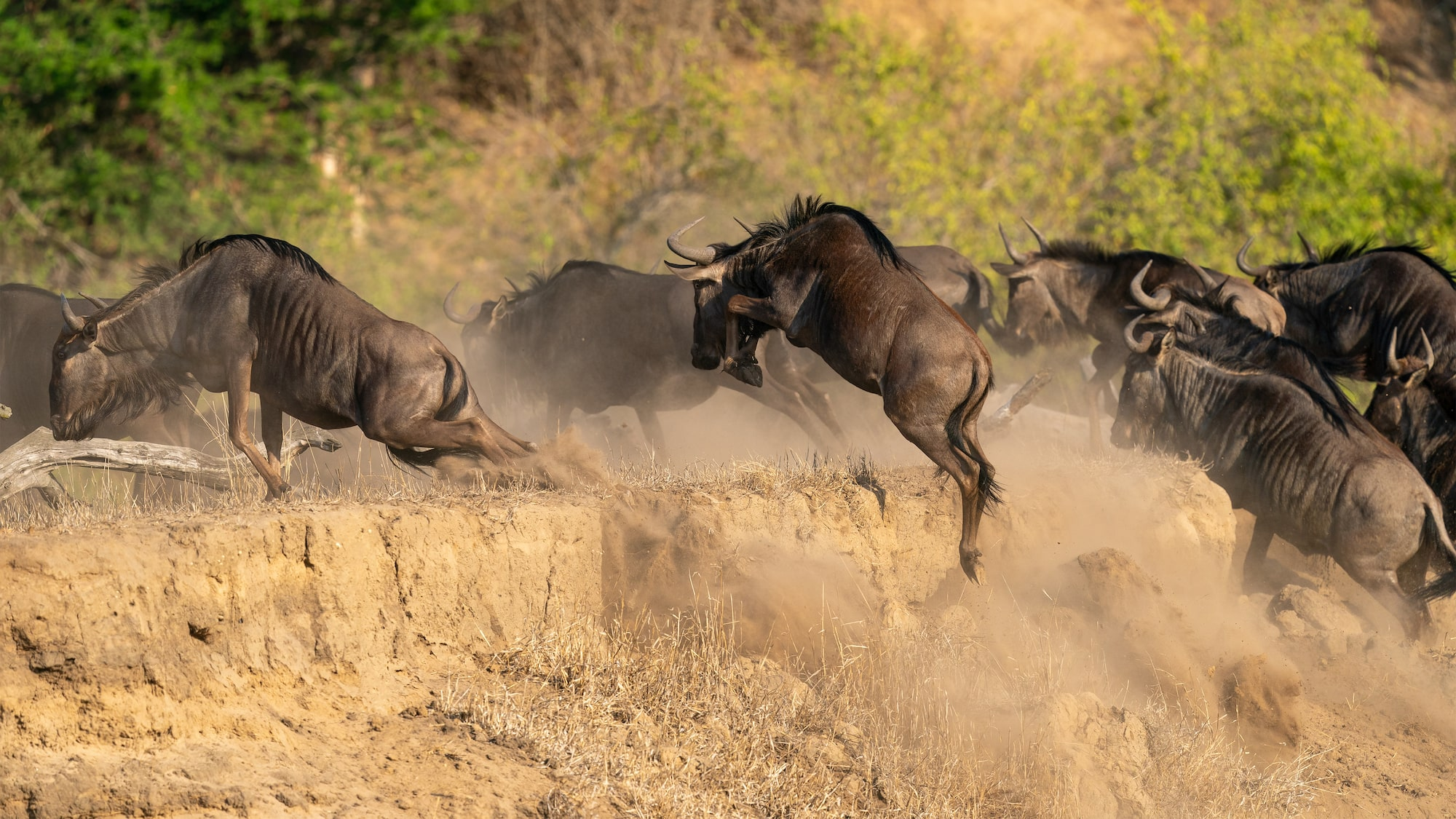 Stampeding herd of wildebeest