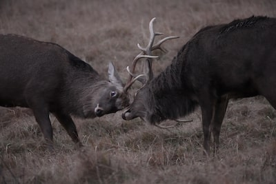 Two deer fighting