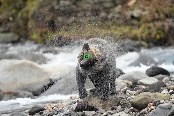 自動對焦框出現在熊的眼睛