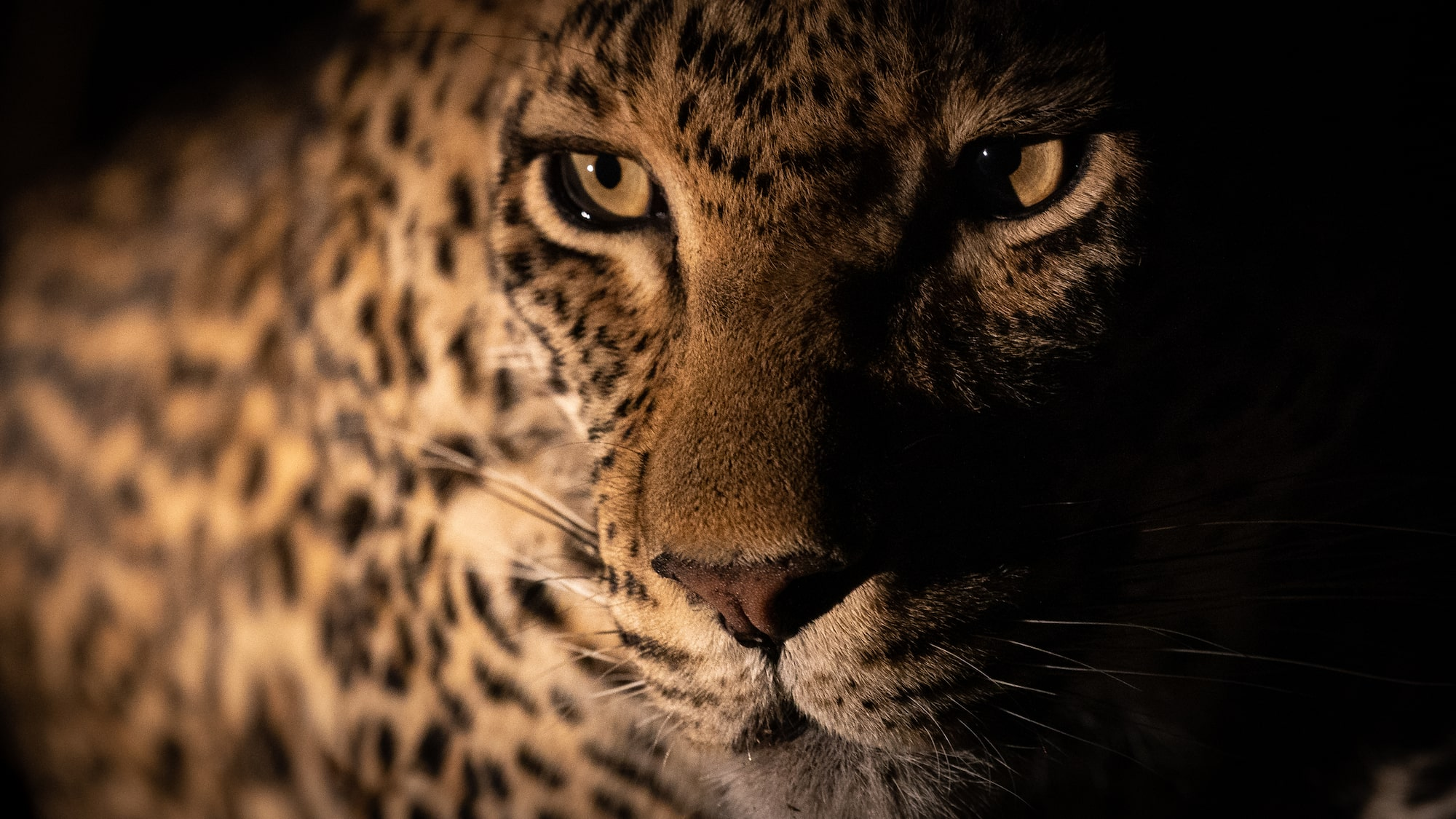 Leopard in the safari at night
