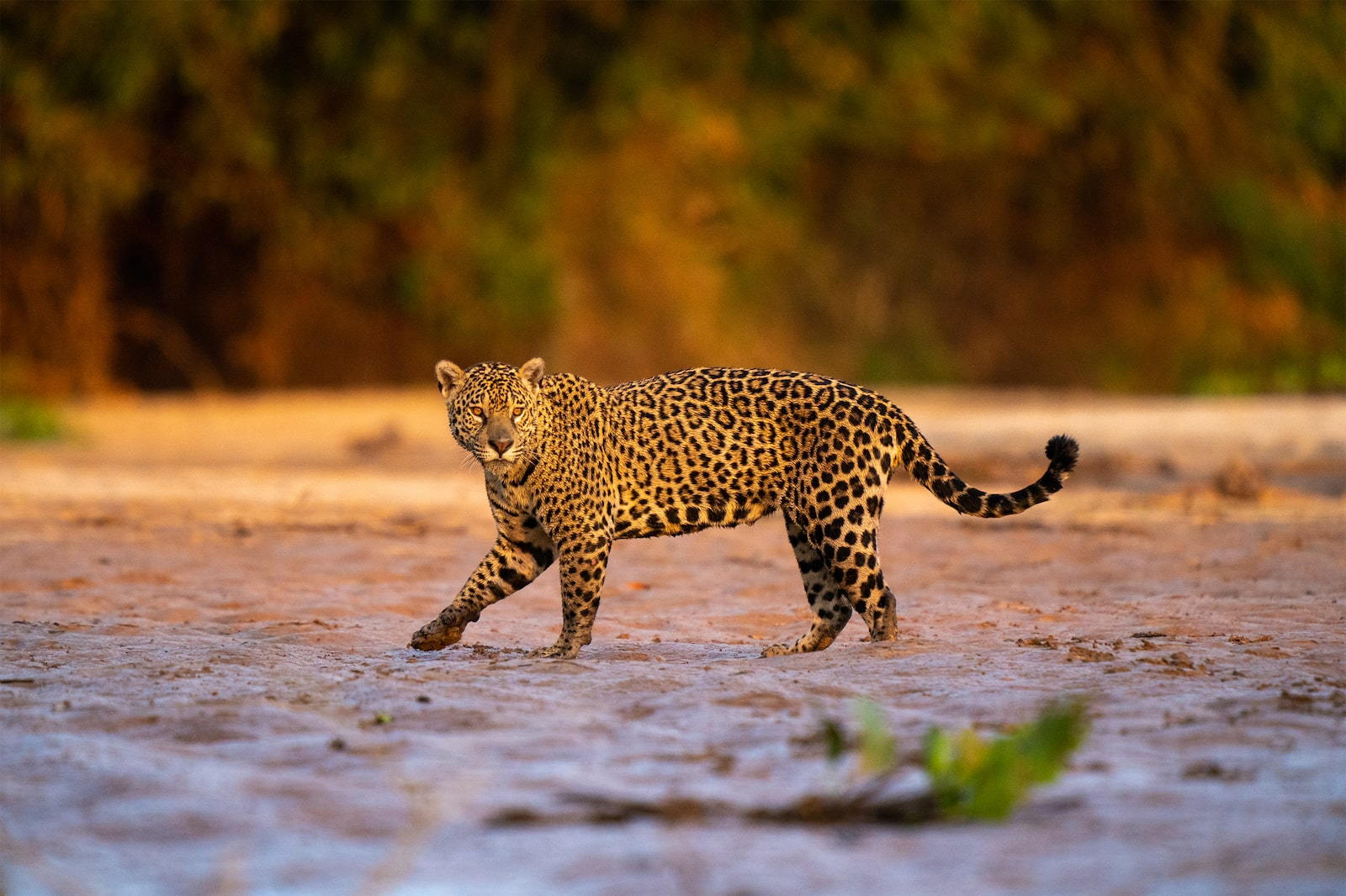 Jaguar in the Open